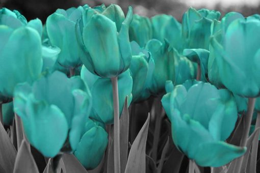 Turkusowe tulipany - tapeta