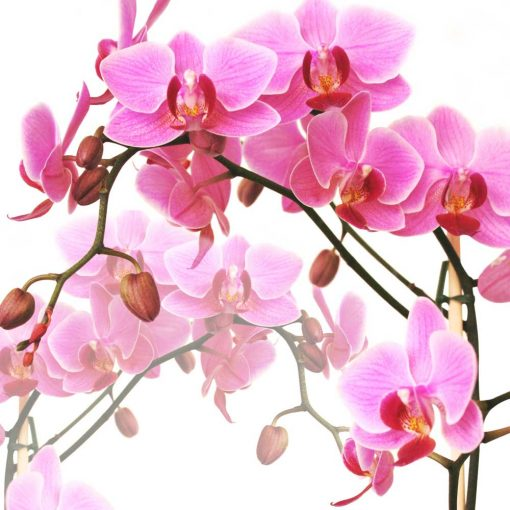 Różowe orchidee - tapeta