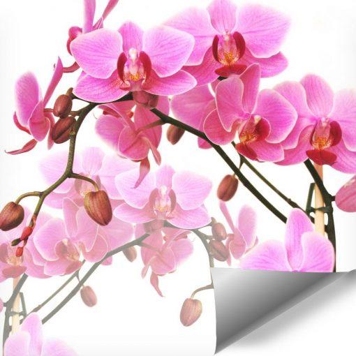 Tapeta z różowymi storczykami
