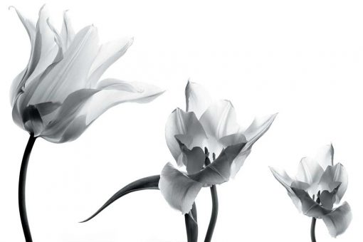 Fototapeta z trzema tulipanami